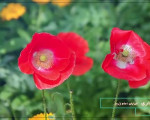 گلهای بهاری خیابان امام (ره)