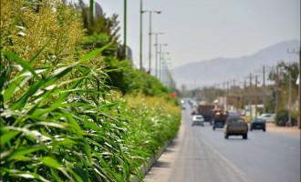 ایده تازه و اقتصادی؛ بلوارهای نجفآباد در اختیار کشاورزان+تصاویر
