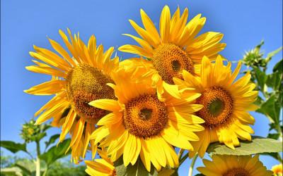جلوه گری گلهای آفتابگردان