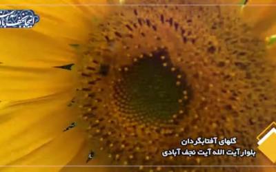 جلوه گری گلهای آفتابگردان / کلیپ