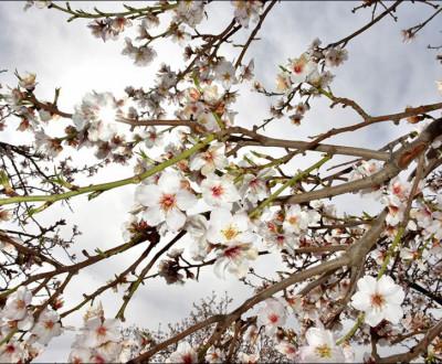 نجف آباد شهر شکوفه های بادام